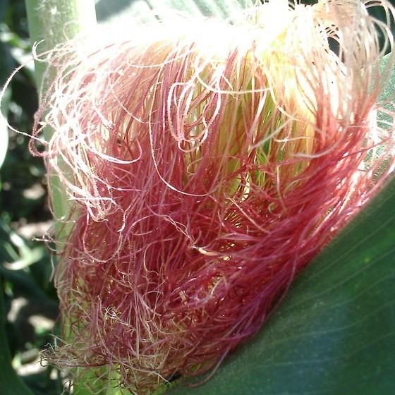 玉米须的基本介绍    玉米须为禾本科玉蜀黍属植物玉米的花柱和花头.