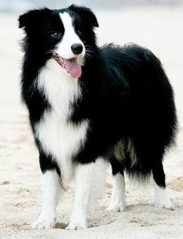 介绍,边境牧羊犬优点 缺点,边境牧羊犬怎么样 宠物狗介绍 宠物狗大全 宠物狗比较 一起比